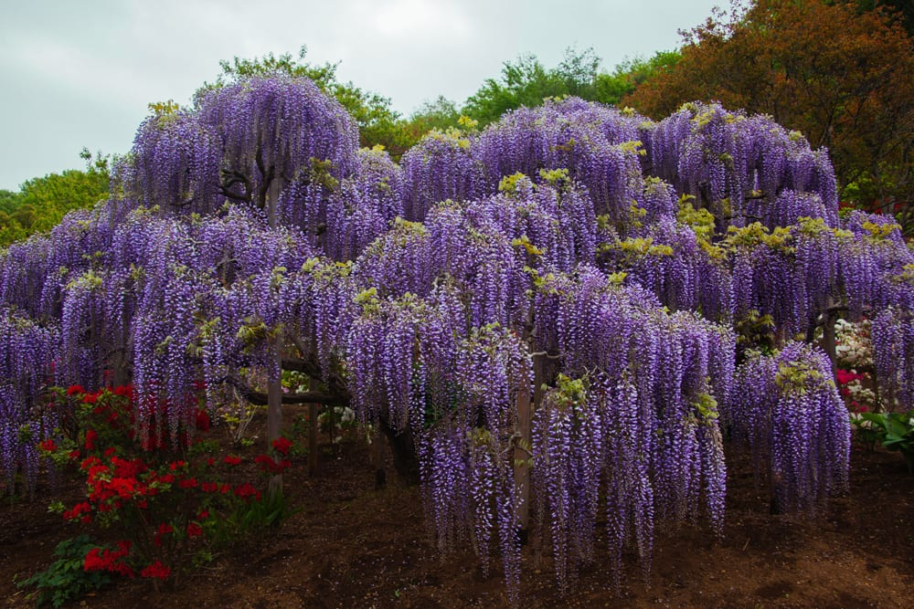 how to see wisteria in japan