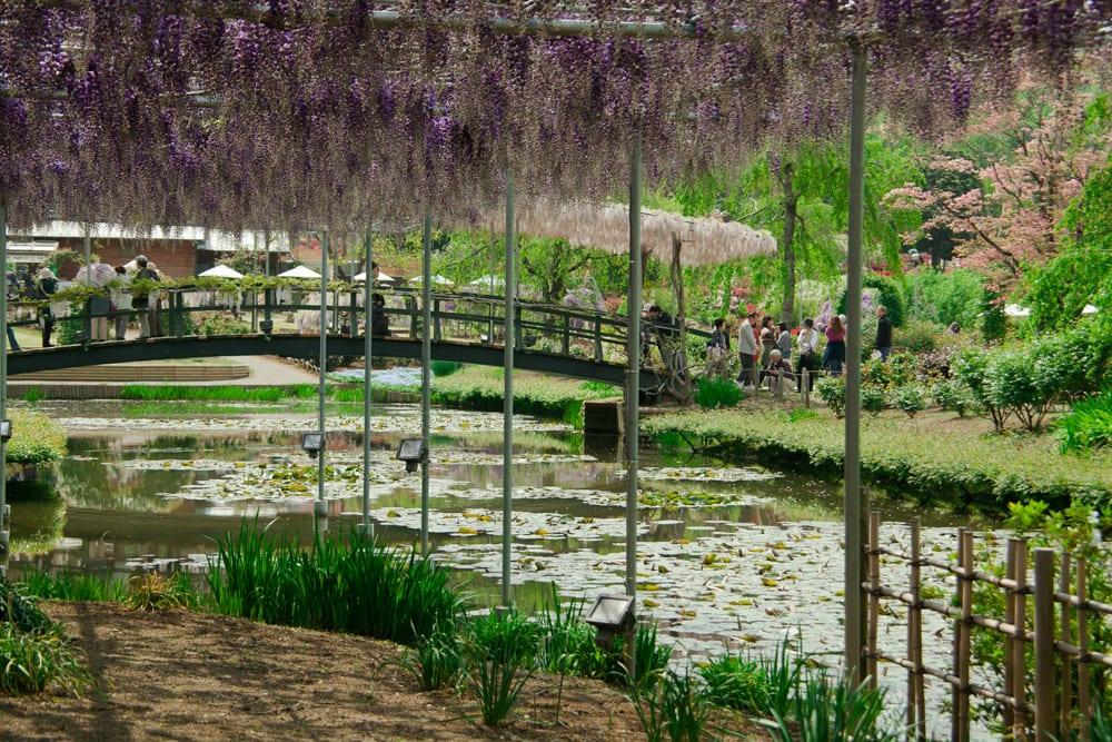 Ashikaga Flower Park Wisteria Japan