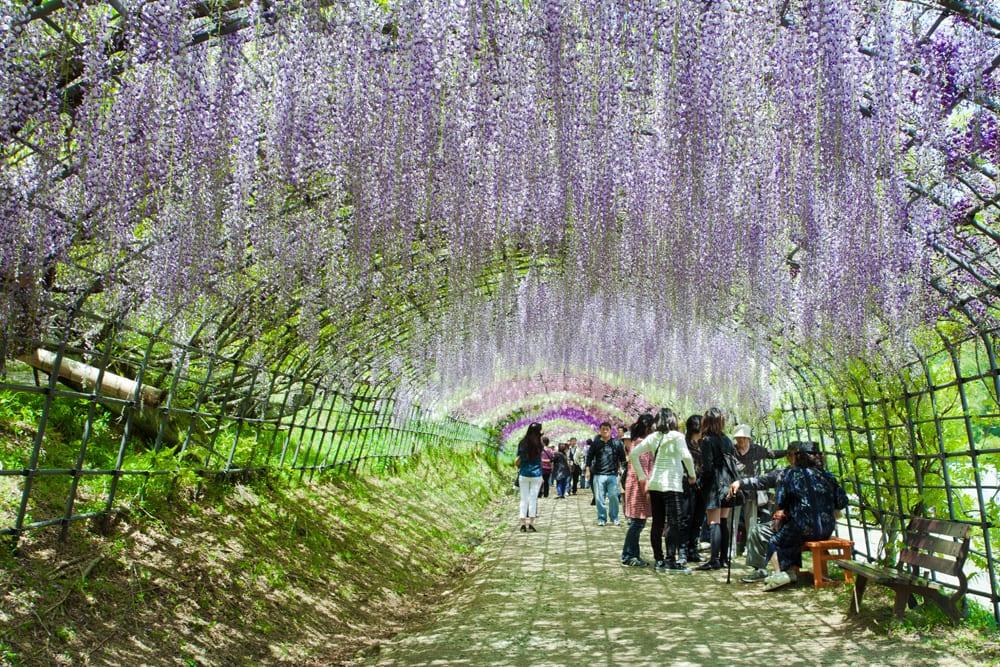 Wisteria Tunnel Japan Kawachi Fuji Garden