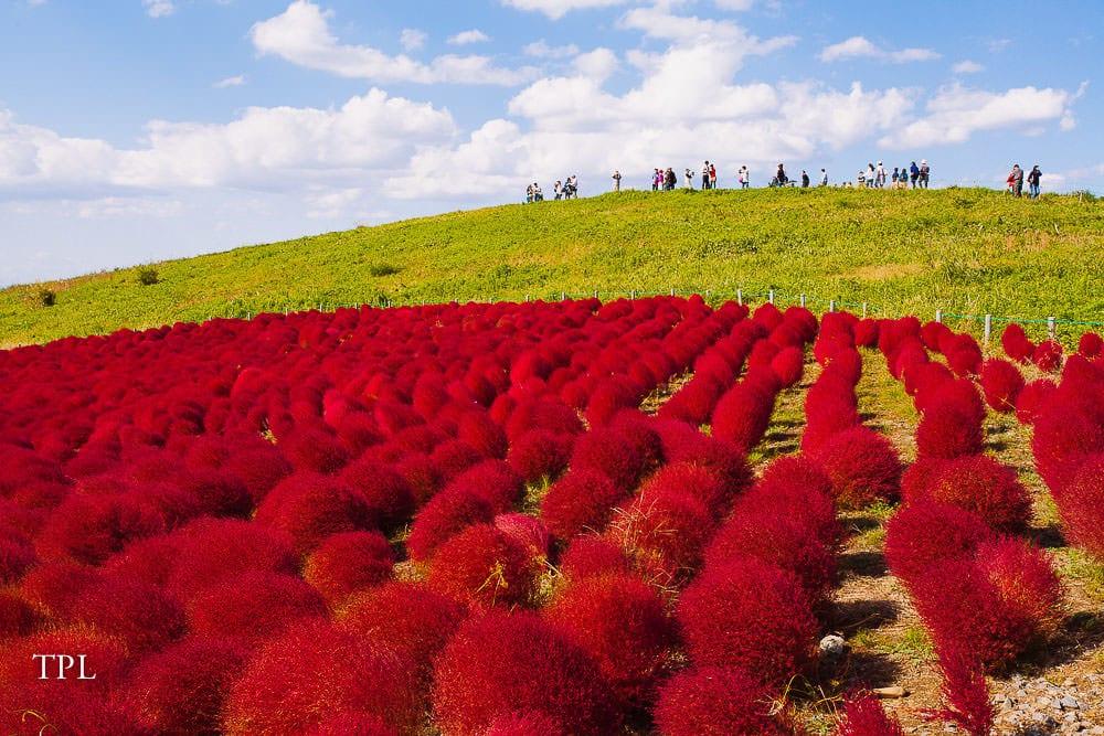 The Red Kochia in Japan: Autumn in Ibaraki