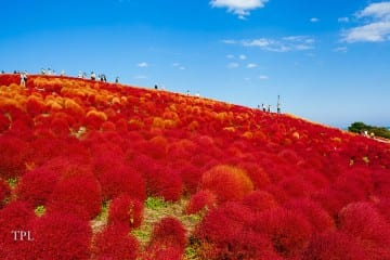 Exploring the red kochia fields in Japan