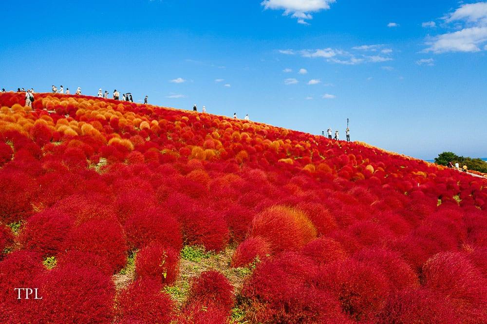 Exploring the red kochia fields in Japan