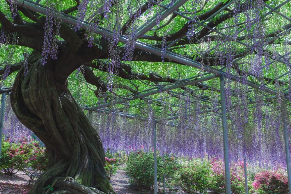 wisteria japan