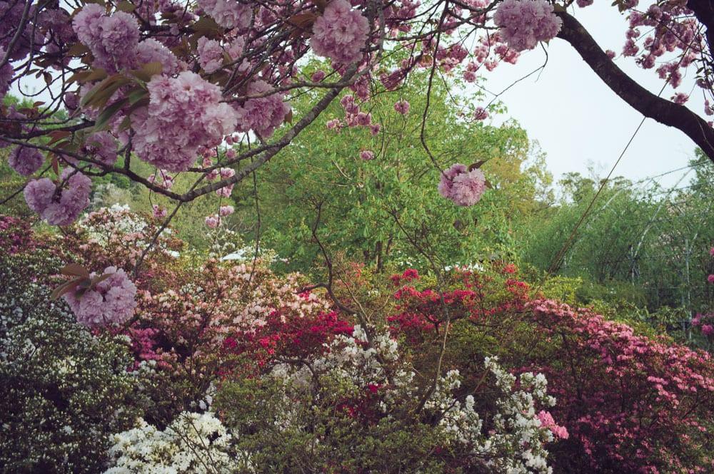 Wisteria Japan Ashikaga Flower Park