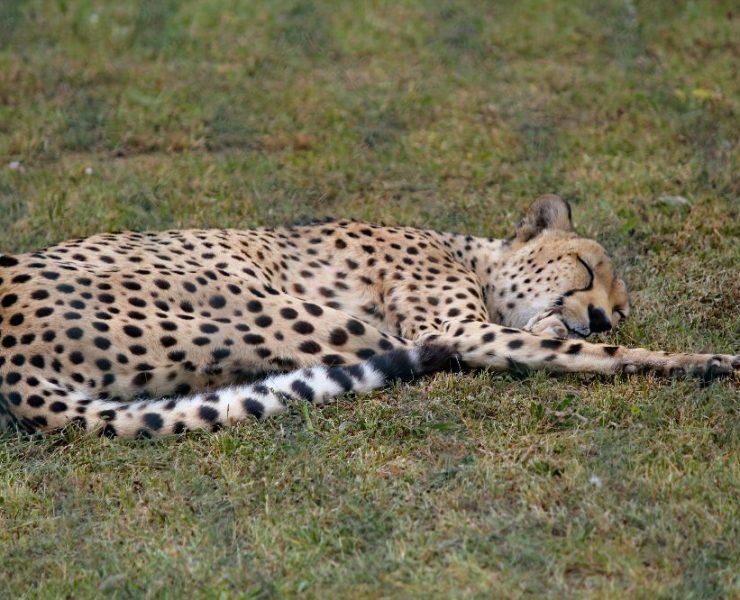Volunteer with cheetahs