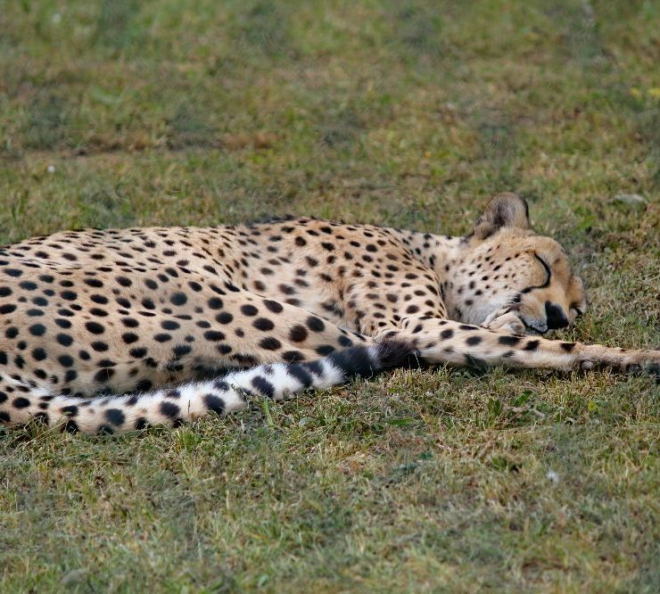 Volunteer with cheetahs
